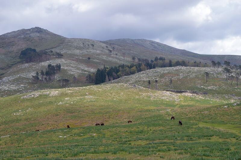 Wild Garrano horses in the wilderness, Peneda-Gerês National Park