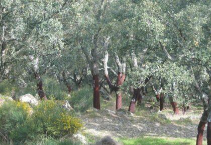 Cork oak trees with harvested bark, Marvão
