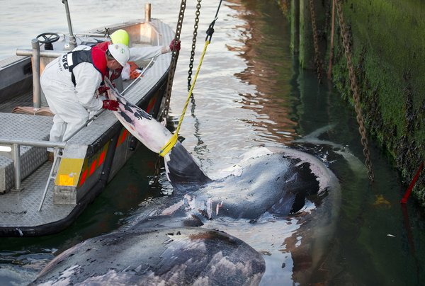A dead whale in Rotterdam, the Netherlands, in 2011. As container ships multiply, more whales are being harmed, a study said. Credit Marco De Swart/Agence France-Presse — Getty Images