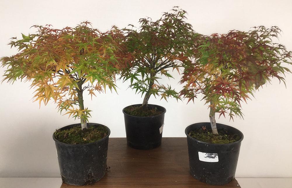 Sharps Pygmy Japanese Maple Bonsai Forest 3 Tree Workshop