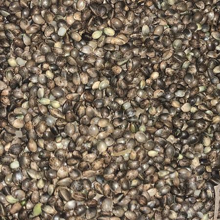 Bulk Cherry Wine hemp Seeds