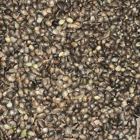 Bulk Cherry Wine hemp Seeds