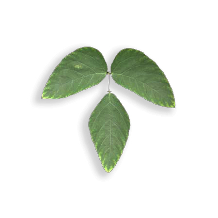 Sea Bean Leaf