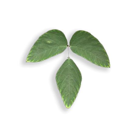 Sea Bean Leaf