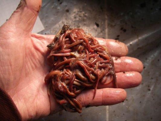 About European Nightcrawlers - Bestbait com