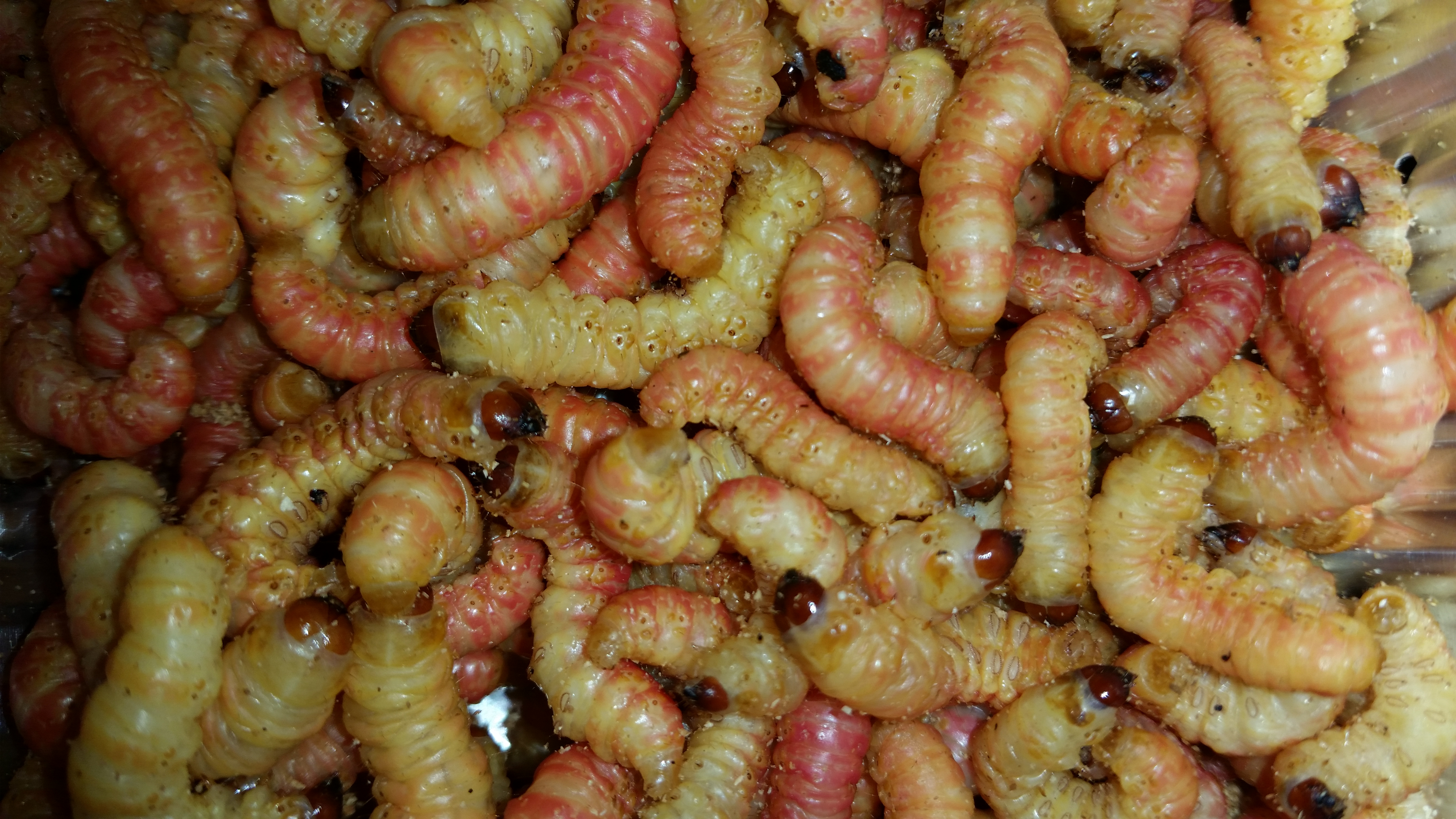 butter worm, butterworms for sale, Chilecomadia moorei
