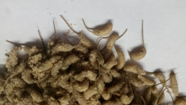 mousees, rat tail maggots
