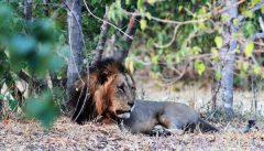 lion-hunting-safari-2-1