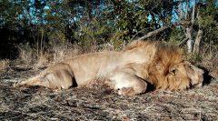 lion-safari-hunting-1