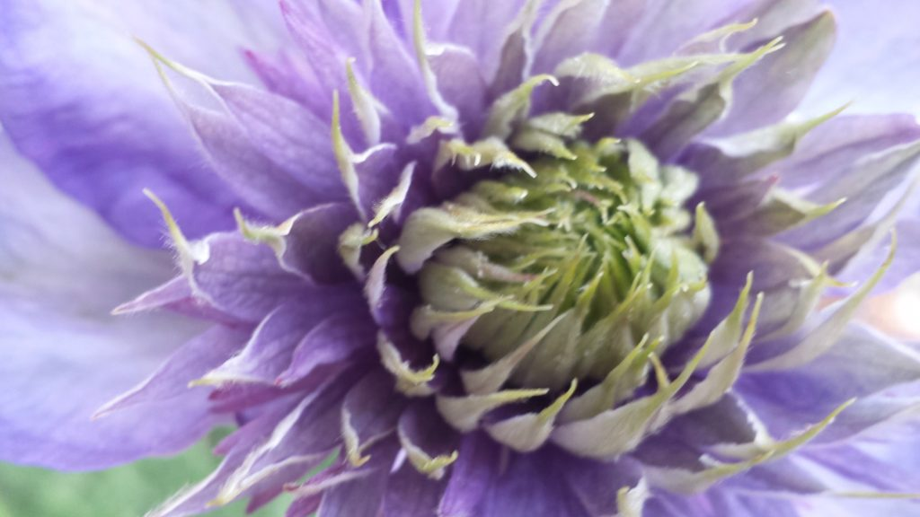 purple and green dahlia opening conveys hope and healing for depression anxiety treatment redmond
