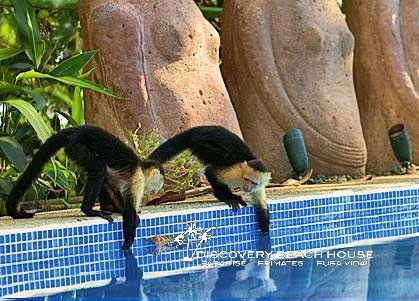 Capuchins at the pool