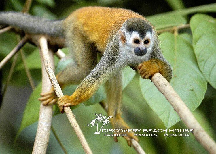Nature Phenomenon – Rentals Near National Park in Costa Rica Get Monkey Visits!