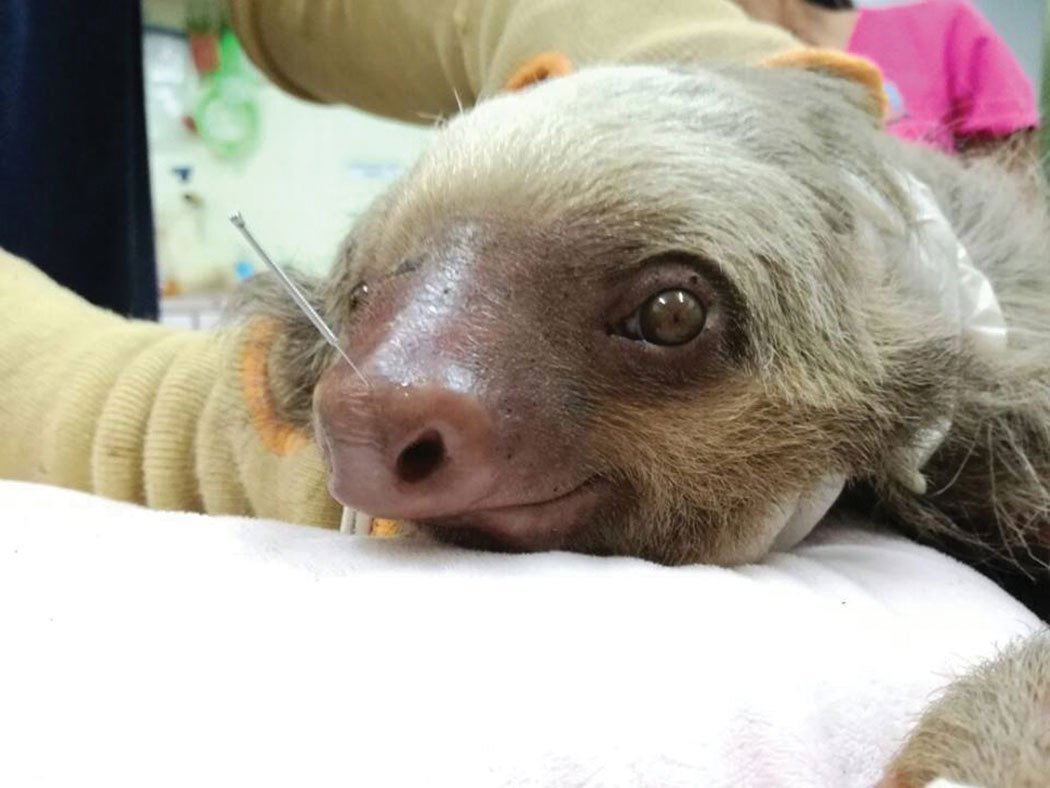 Acupuncture for injured sloth