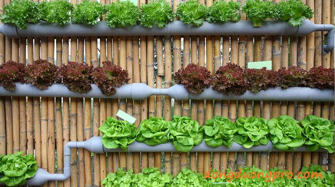 Mô hình vườn rau sạch tại nhà - Trồng trong ống PVC