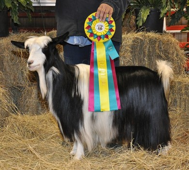 Sol-Orr's Martina , Grand Champion Sr. Doe, Long Horn Show, Sol-Orr Farm, 2015
