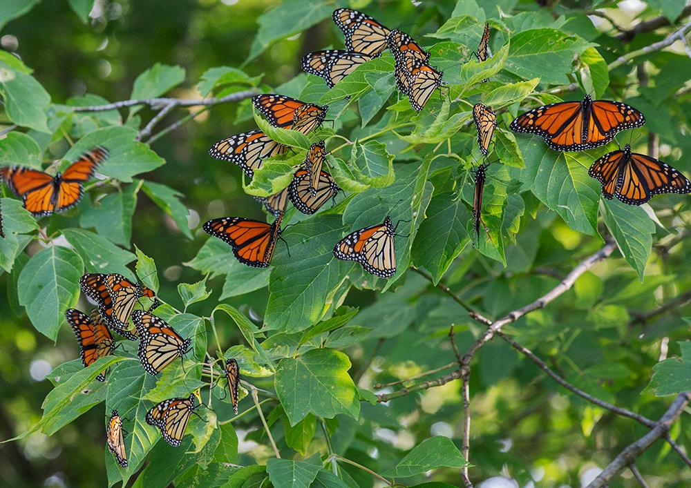 Cluster of roosting monarch butterflies