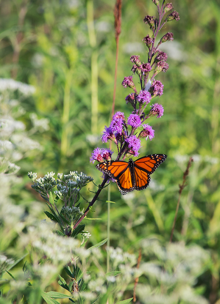 Monarch on rough blazing star blossom