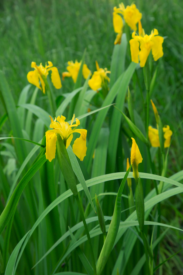 Yellow flag iris blossoms at Birchwood Hills Nature Preserve