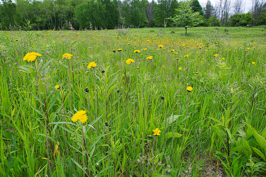 yellow wildflowers and grasses in a meadow