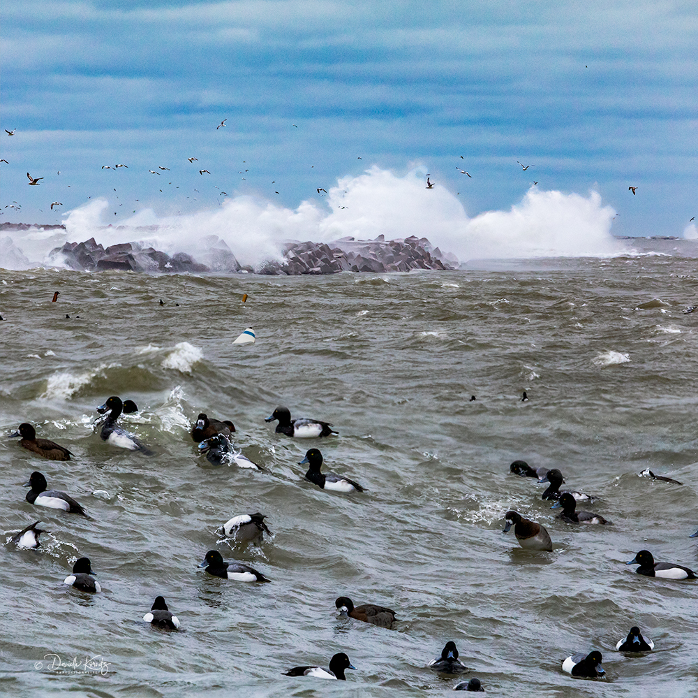 Greater Scaup with Gulls and Water exploding over the Breakwater.