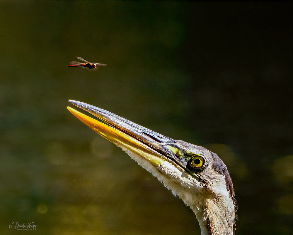 Great Blue Heron and the Dragonfly.