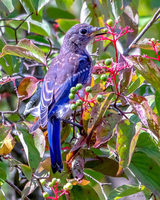Juvenile Bluebird snagging a berry.