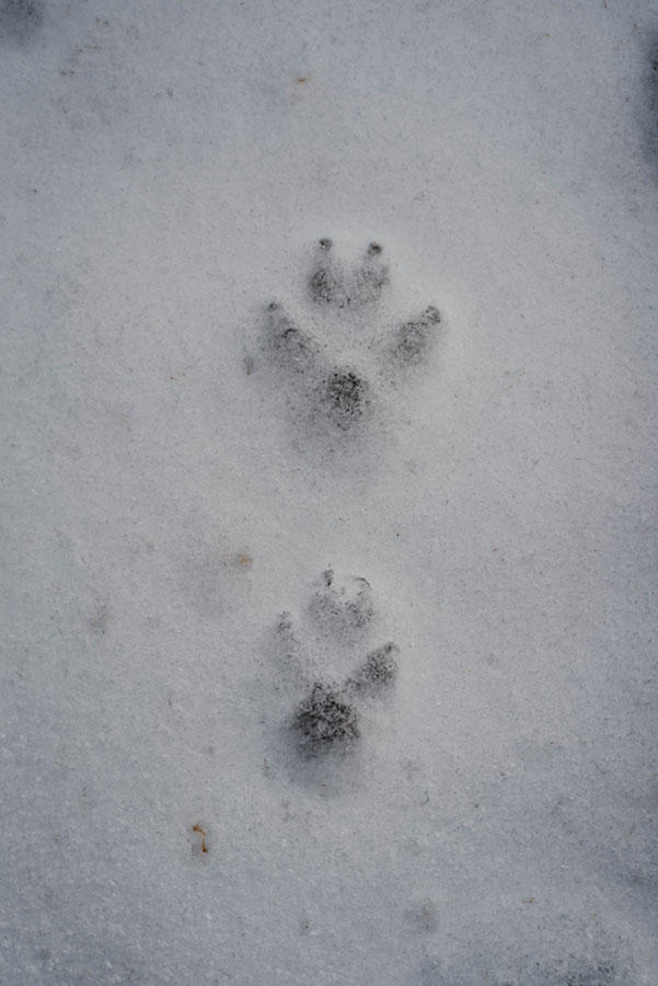 Prints (animal tracks)