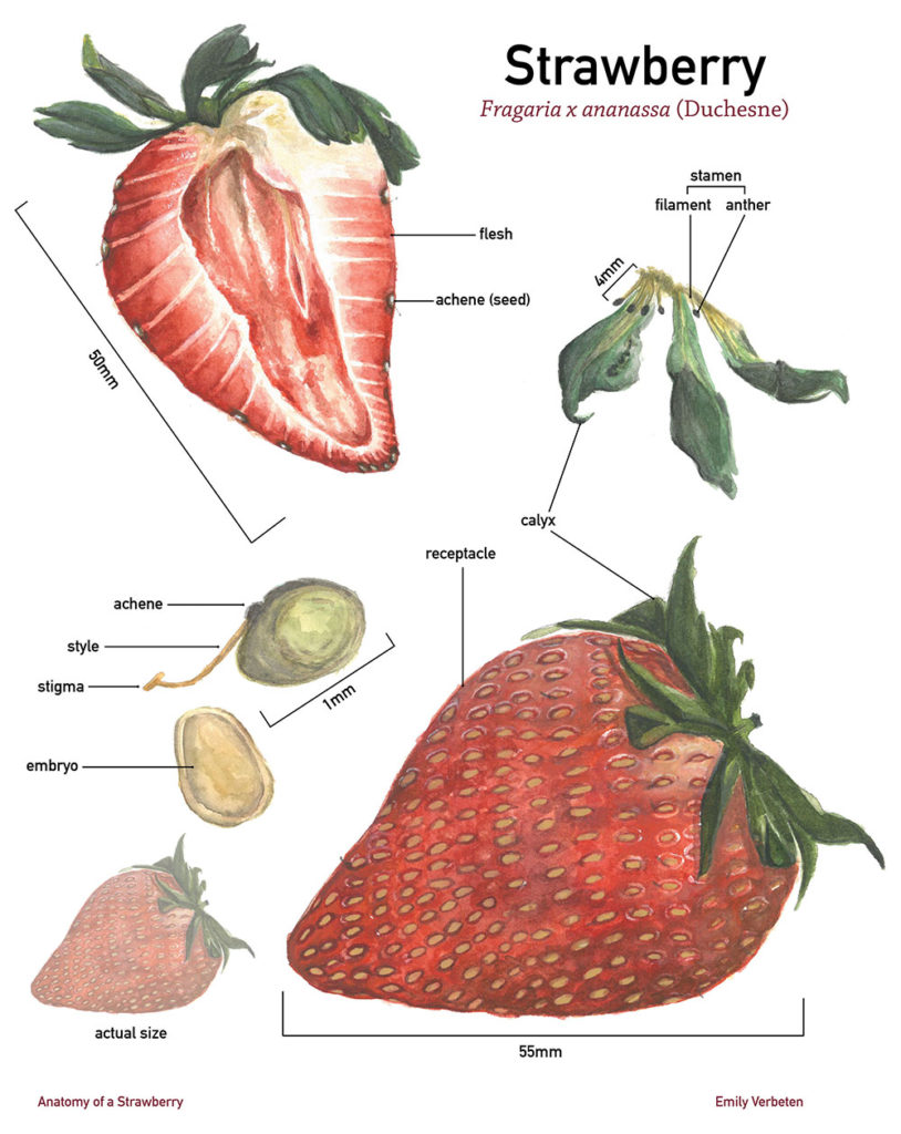 """""""Anatomy of a Strawberry,"""" watercolor and gouache"""
