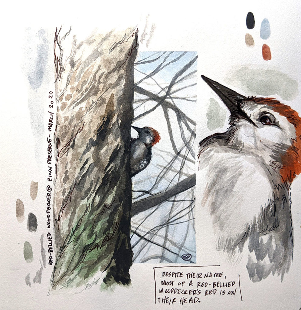 Study of a Red-bellied Woodpecker, watercolor, gouache and pen