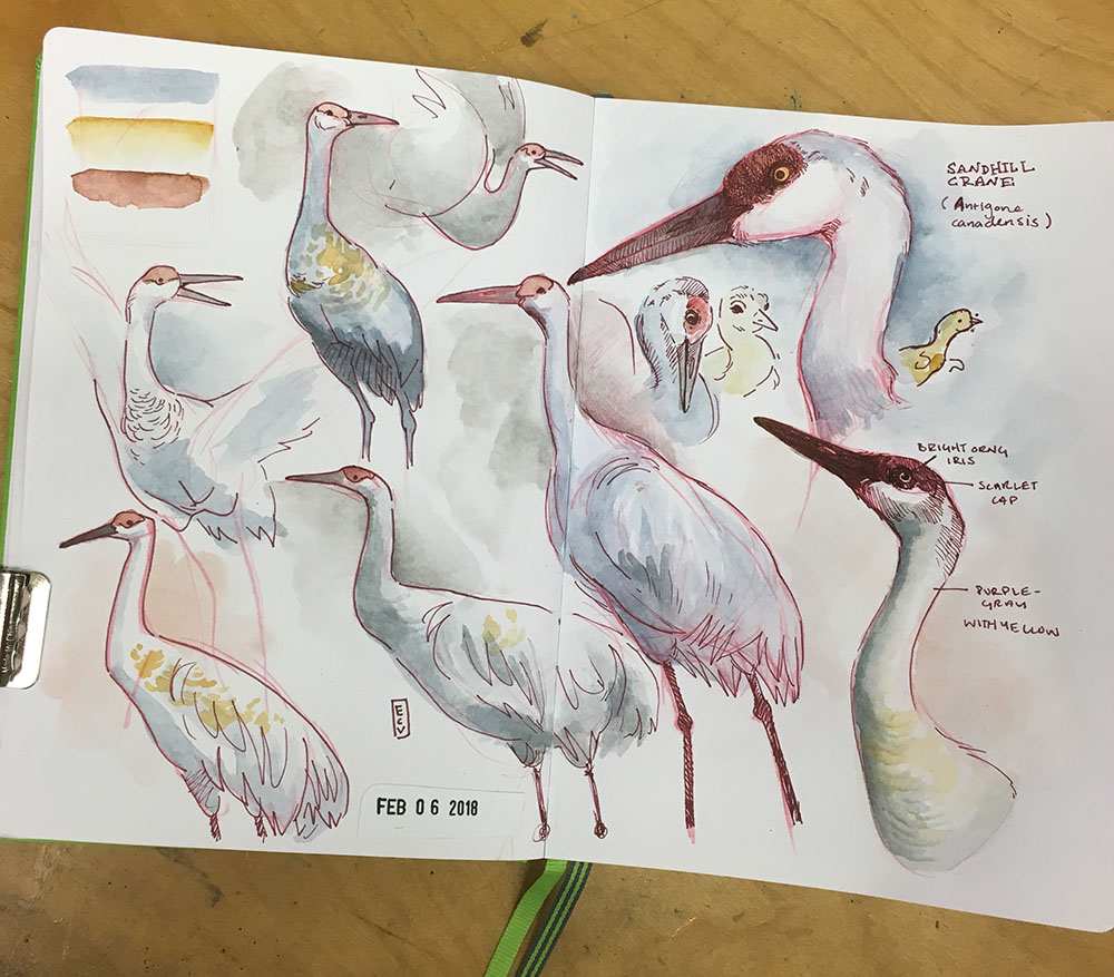 Sketchbook studies of Sandhill Cranes, watercolor