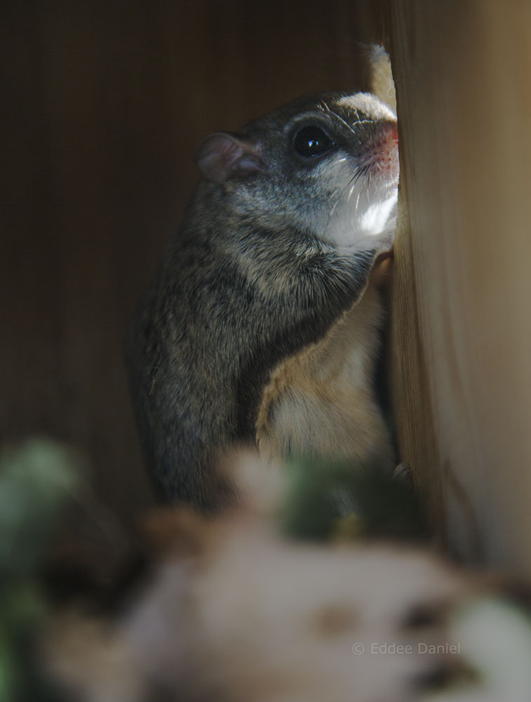 Flying squirrel in one of several monitored nesting boxes