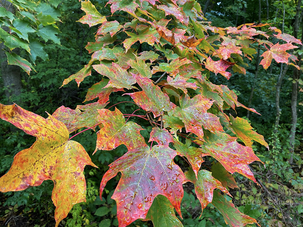 Calhoun Park maple leaves