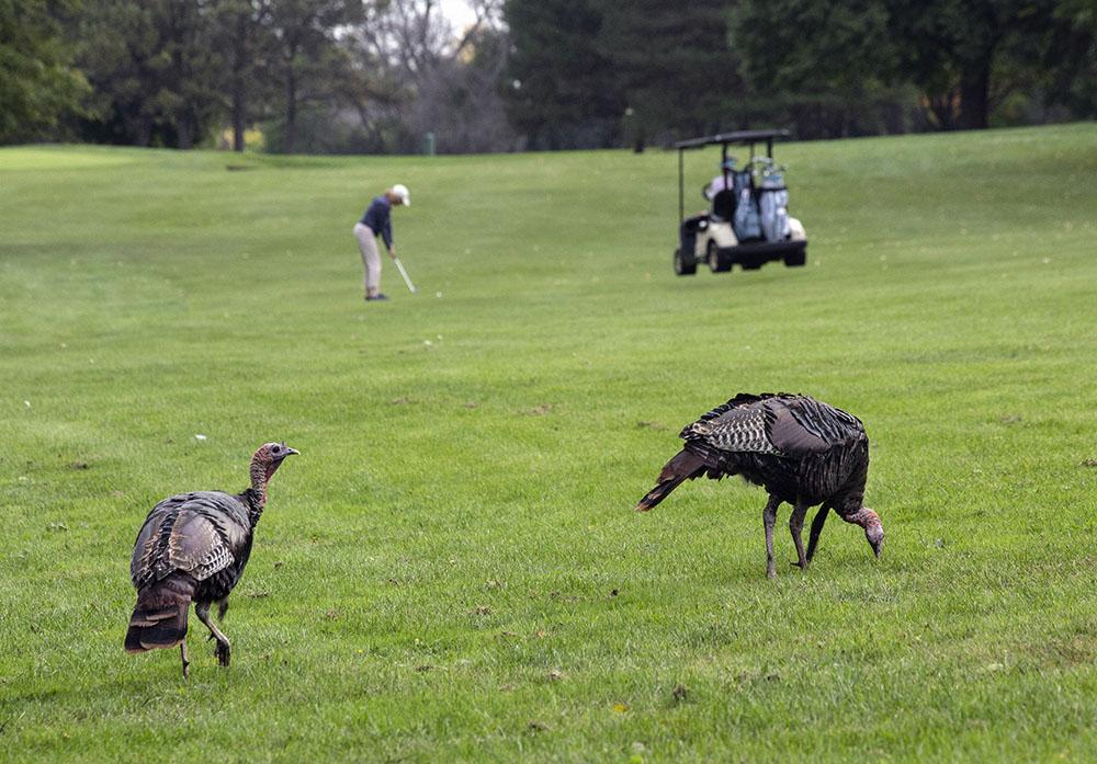 Turkeys share the fairway at Lincoln Park golfcourse