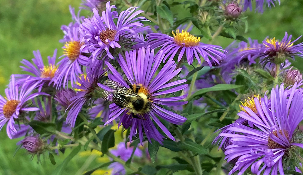 purple asters and bumblebee in Turtle Park