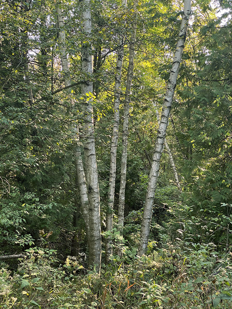 Stand of birches.