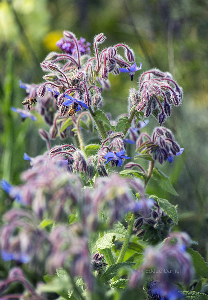 Borage and bees.