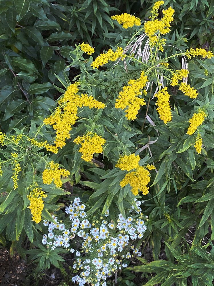 Goldenrod and white asters