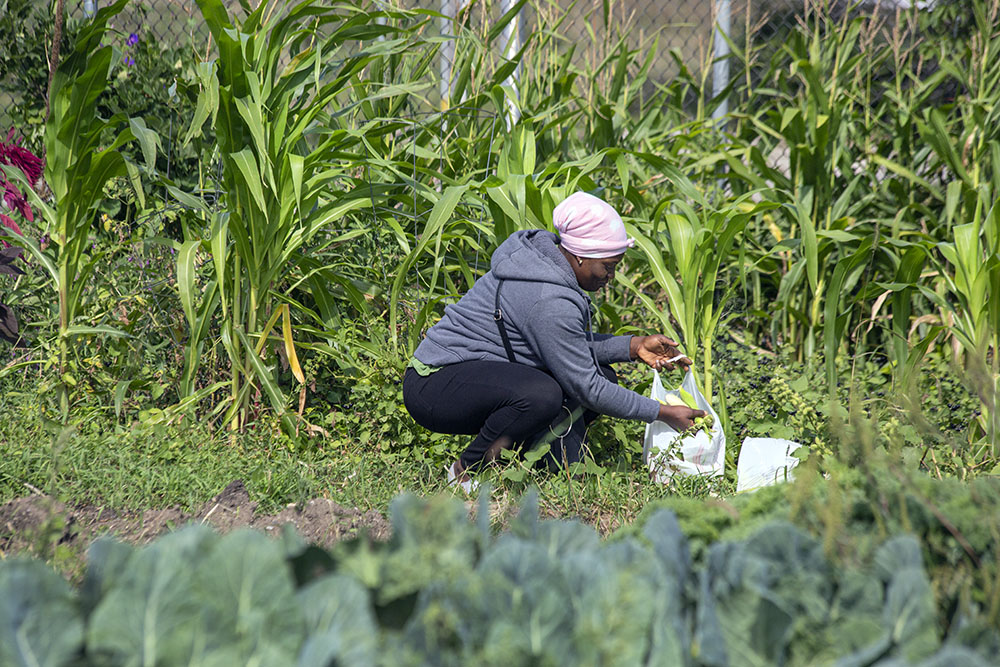 An urban farmer harvesting corn.