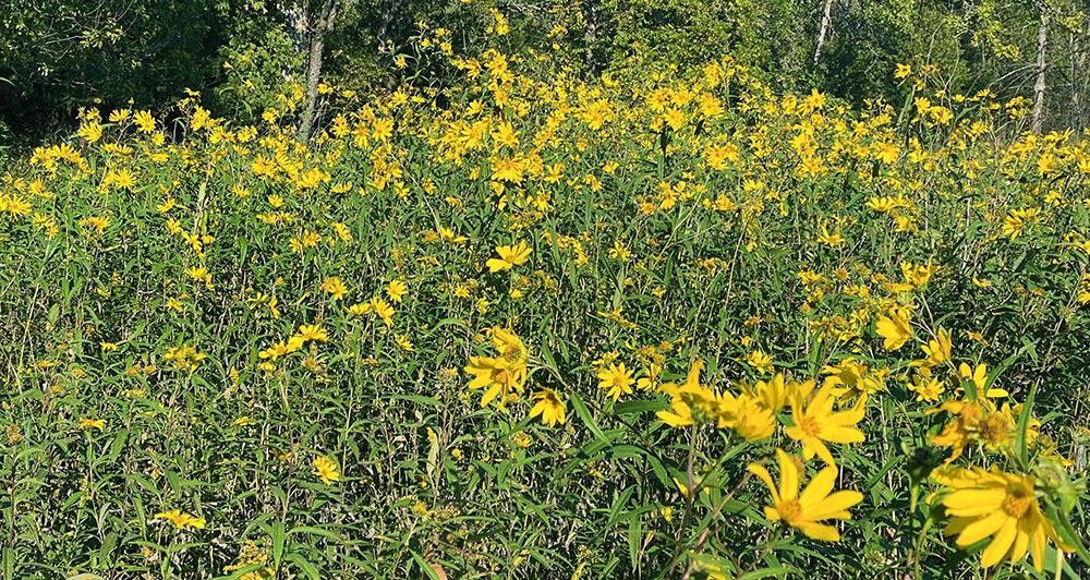 Golden wildflowers dancing