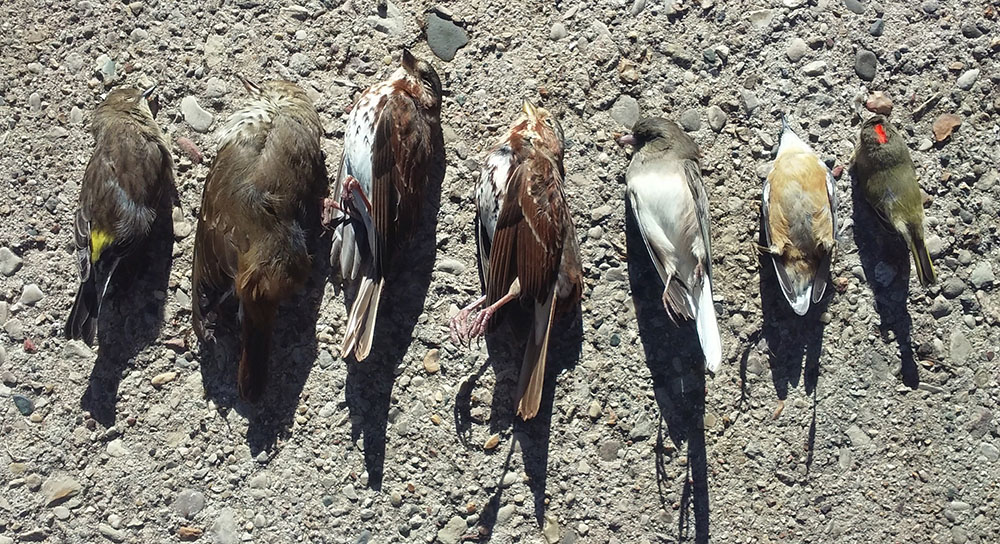 One day's toll of dead birds on Innovation Campus