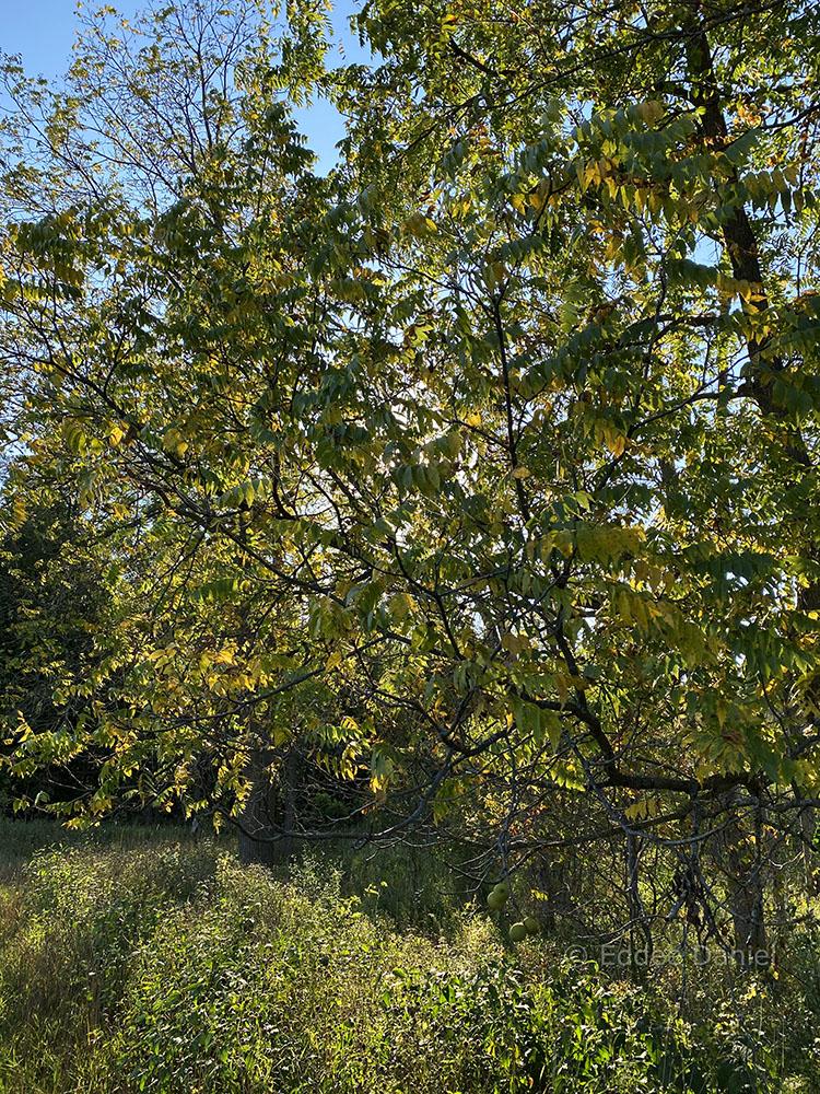 Black walnut tree backlit by the setting sun.