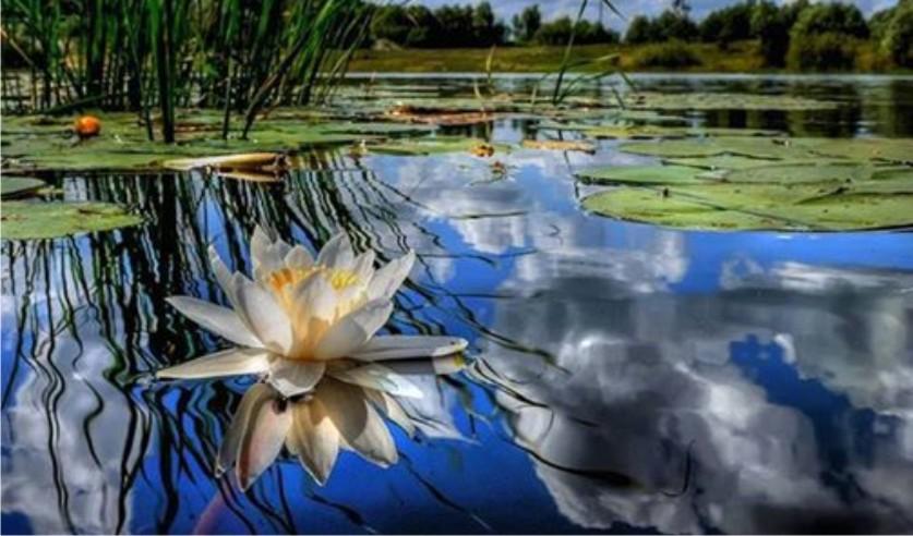 lotus blossom on lake