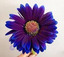 Daisy - Gerbera -HybridBlue/Purple Image