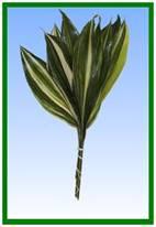 Aspidistra (variegated) Image