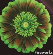 Daisy Gerbera - Chocolate Mint Image
