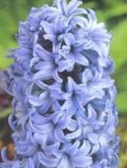 Hyacinth Image