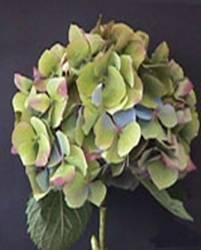 Hydrangea (Antique Green) Image
