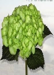 Hydrangea (Lime Green) Image
