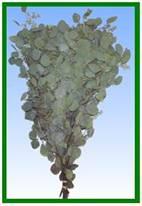 Eucalyptus (Seeded) Image