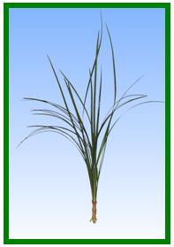Lily Grass Image